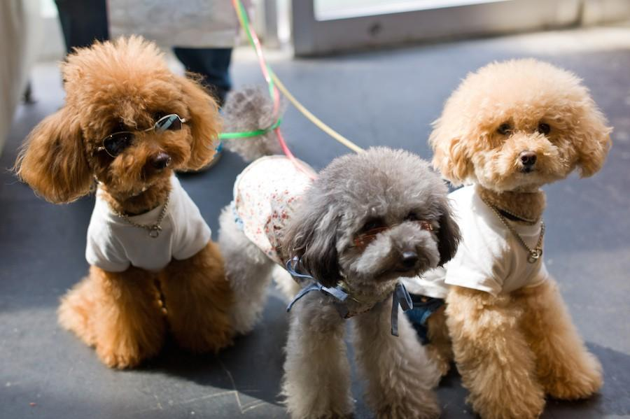 Perfectly groomed and pampered city dogs in Tokyo.