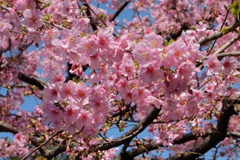 Visit the beautiful cherry blossoms in Sumida park.