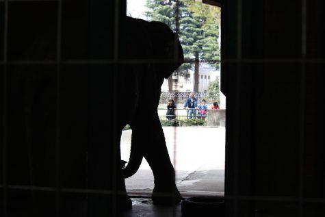 Hanako remaining in her enclosure.