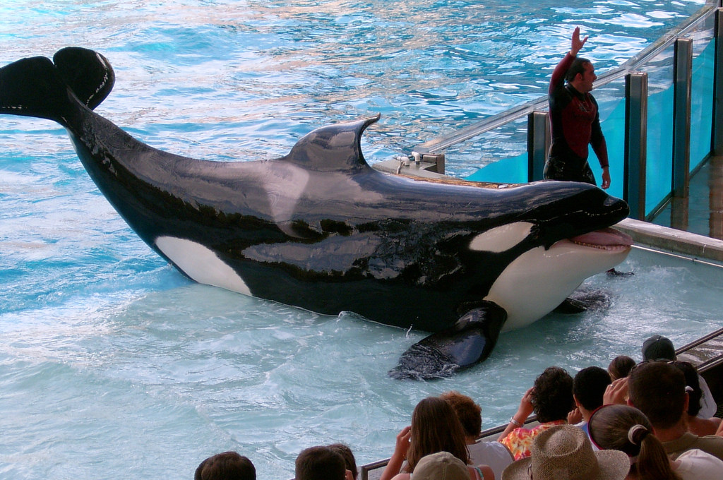 Shamu, an Orca Whale, performs at Sea world in 2004.