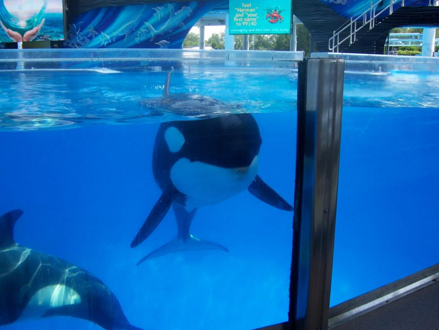 Trua, an Orca in Seaworld Orlando