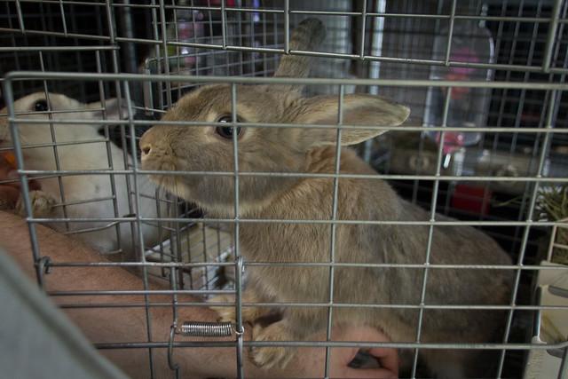 A+rabbit+in+a+cage+at+Harajuku%27s+R.a.a.g.f.+%28Rabbit+and+Grow+Fat%29+Rabbit+Cafe.